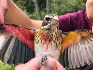 Редкого двуполого кардинала поймали в США