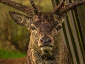 Олень отобрал у охотника винтовку и унес в лес