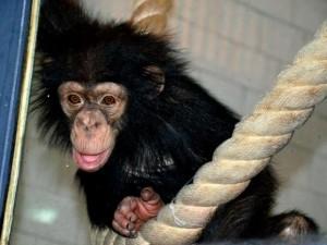 На самоизоляцию ушли обезьяны в челябинском зоопарке