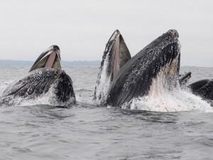 В пасти горбатого кита оказались две женщины (видео)