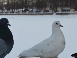 Где от мороза прячутся в Челябинске голуби?