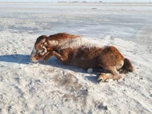 Лошади замерзли насмерть в Верхнеуральском районе