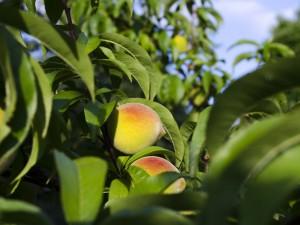 «Персиковое» лето ожидается в России