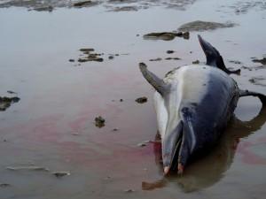Жители Краснодара подтверждают факт гибели дельфинов и птиц на Черном море