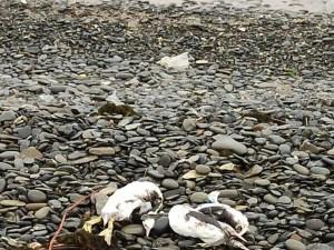 Экологическая катастрофа на Черном море: десятки трупов морских животных и птиц нашли на берегу