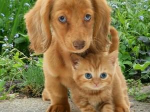 Оба рыжие и с голубыми глазами, щенок и котенок, умиляют Интернет